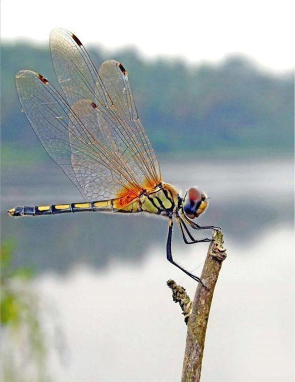 Dragonfly - 2020